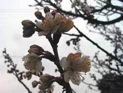 2006220sakura